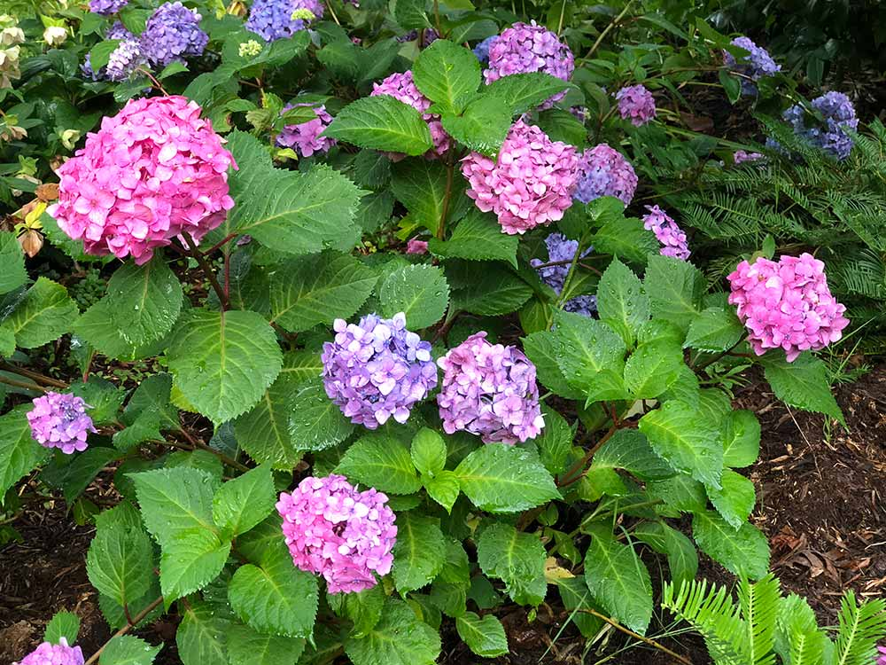 picture of a remontant hydrangea in context of when to prune it