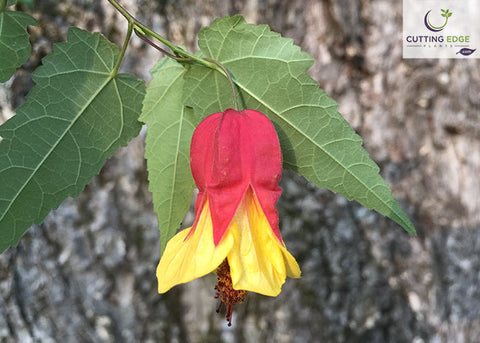 Abutilon megapotamicum 'Little Imp' (Brazilian bellflower, flowering maple)