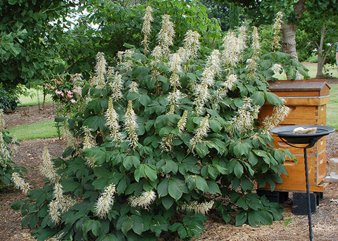bottlebrush buckeye bush