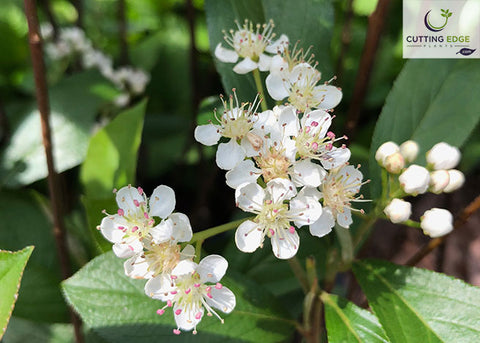 chokeberry flowers