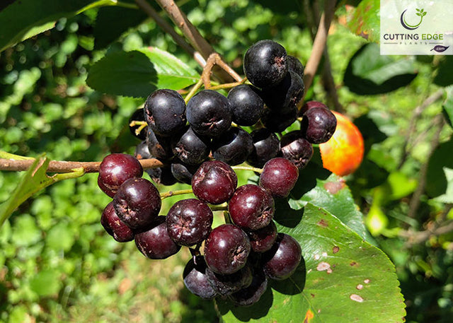 Aronia Brilliant fruit