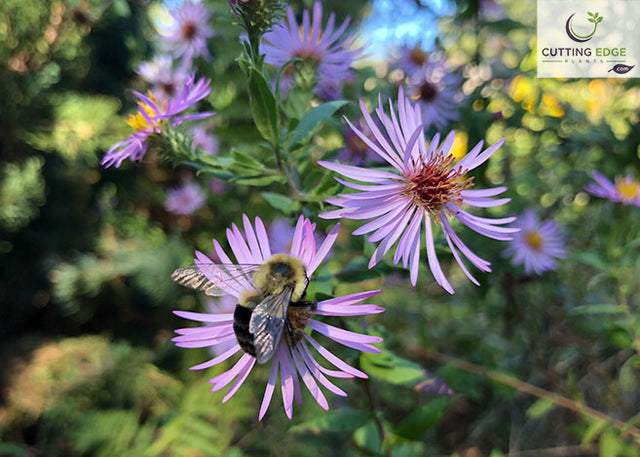 climbing aster flower with bee