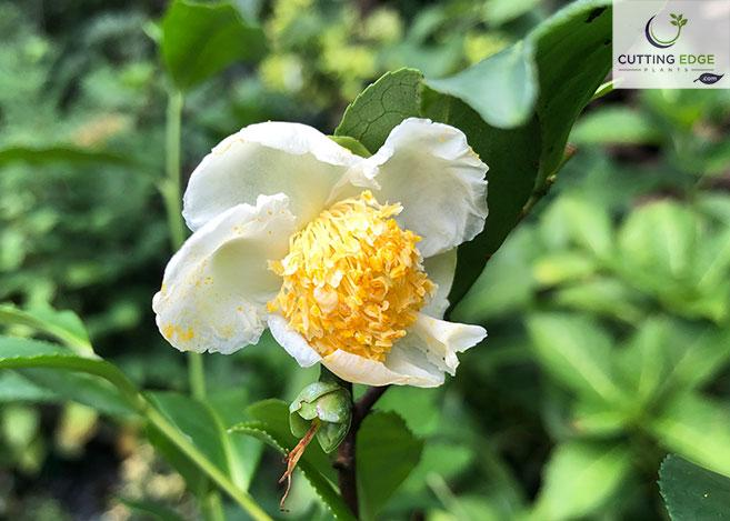 Camellia Sinensis Korean Form Korean Tea Plants Cutting Edge