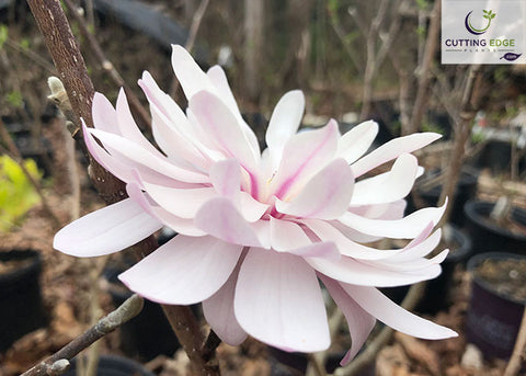 Magnolia Centennial Blush open flower1