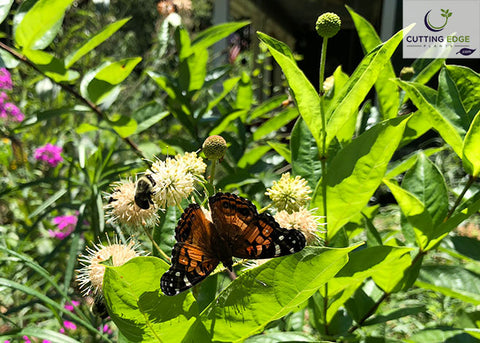 butterfly and bee on buttonbush flower