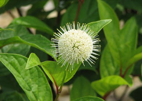 Cephalanthus occidentalis Fiber Optics® (buttonbush)