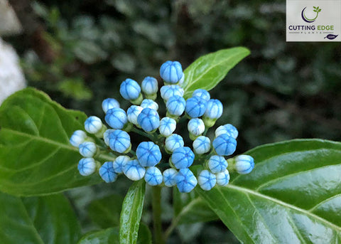 blue evergreen hydrangea flower buds