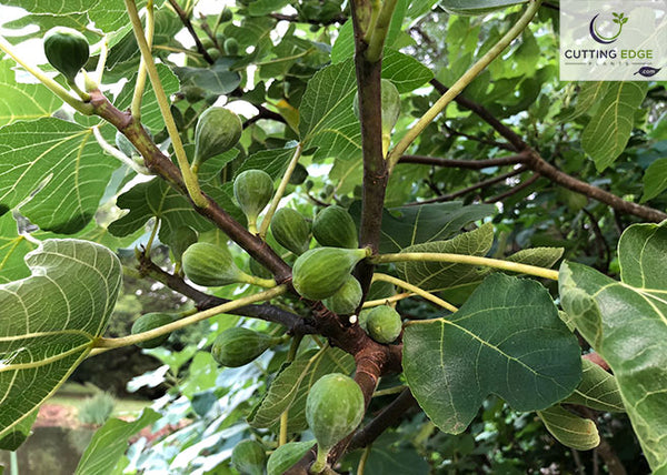 Ficus carica 'Brown Turkey' (fig tree) (HC)
