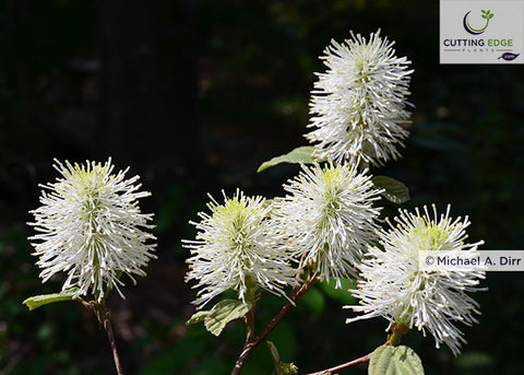 Fothergilla x intermedia 'Mt. Airy' (witch alder)