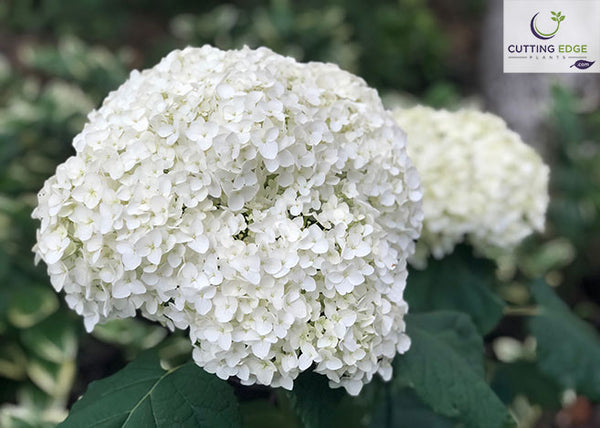 Balsam smooth hydrangea flower