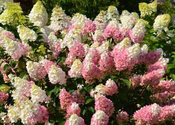 Strawberry Sundae panicle hydrangea