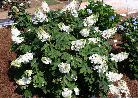 Hydrangea quercifolia Jetstream bush