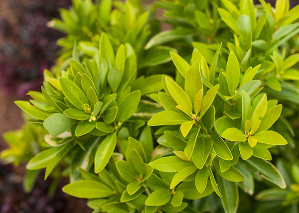 Illicium parviflorum BananAppeal® (yellow anise tree)