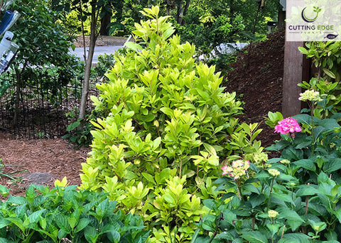 Illicium parviflorum 'Florida Sunshine' (yellow anise tree)