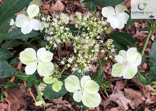 Irish Lace hydrangea flower close up