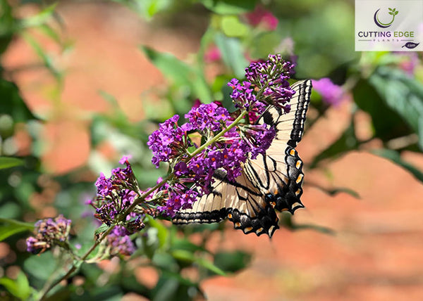 windy hill butterfly bush flower with butterfly