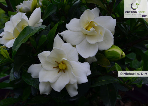 Sweet Tea Gardenia double flowers