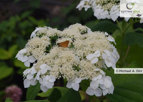 Mary Nell smooth hydrangea flower