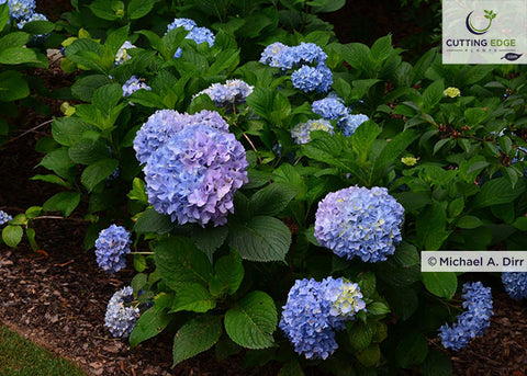 All Summer Beauty hydrangea bush