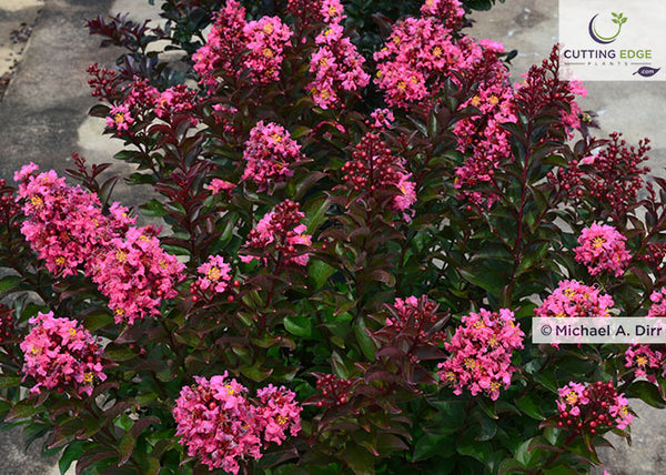 Lagerstroemia 'Coral Magic' (crapemyrtle)