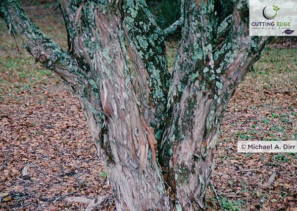 water elm trunk and bark