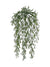"Sprengeri Fern Hanging Plant - 31"" Long - Box of 12 - Green"