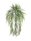 "Maidenhair Fern Hanging Plant - 24"" Long - Set of 12 - Green"