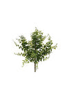 "Buckler Fern - 15"" Tall with 38 Fronds - Set of 24 - Green"