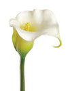 "Plastic Calla Lily Stem - 27"" Tall - Box of 24 - Choice of Color"