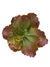 "Echeveria Succulent - 9.5"" Tall - Set of 6 - Burgundy"