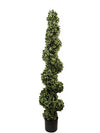 Boxwood Topiary Spiral - 5' Tall - Green