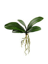 "Phalaenopsis Orchid Leaves - 16"" Wide - Set of 12 - Green"