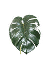 "Split Philo Leaf - 28"" Long - Box of 24 - Green"