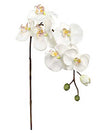 "Phalaenopsis Orchid Stem - 31"" Tall - Set of 12 - Cream"