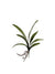 "Cymbidium Orchid Leaves - 20"" Wide - Box of 24 - Green"