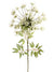 "Queen Anne's Lace Stem - 30"" Tall - Box of 12 - White"