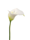 "Real Touch Calla Lily Stem - 21"" Tall - Box of 24 - Choice of Color"