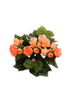 "Begonia Bush - 10"" Tall - Box of 24 - Choice of Color"