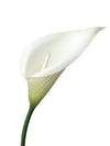 "Hand-Wrapped Silk Calla Lily - 28"" Tall - Box of 12 - White"