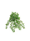 "Maidenhair Fern Hanging Plant - 23"" Diameter - Set of 12 - Green"