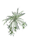 "Spider Plant - 32"" Diameter - Box of 12 - Variegated Green"