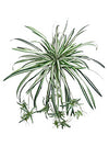 "Spider Plant - 40"" Diameter - Box of 12 - Variegated Green"