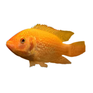 Tilapia Depot | Fingerlings, Colonies, & Feed Delivered Fresh To You