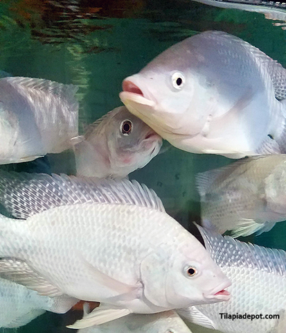 White Nile Tilapia
