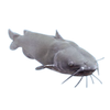(Pre Order) Channel Catfish (Qty: 1)
