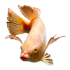 Red Nile Tilapia Fingerlings (Qty: 1)