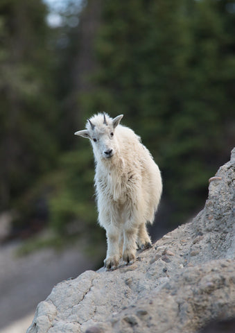 Mountain Goat - Adam Skalzub Photography