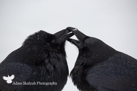 Love Birds - Adam Skalzub Photography