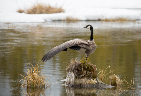 Yoga Goose - Adam Skalzub Photography