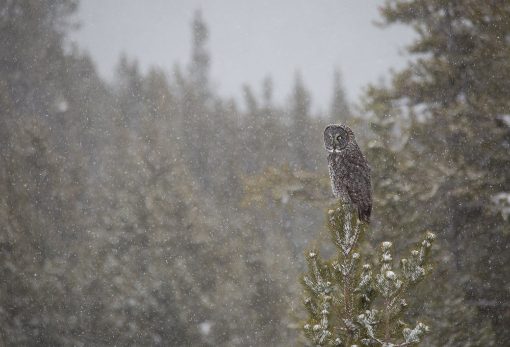 Snowy Great grey Owl - Adam Skalzub Photography